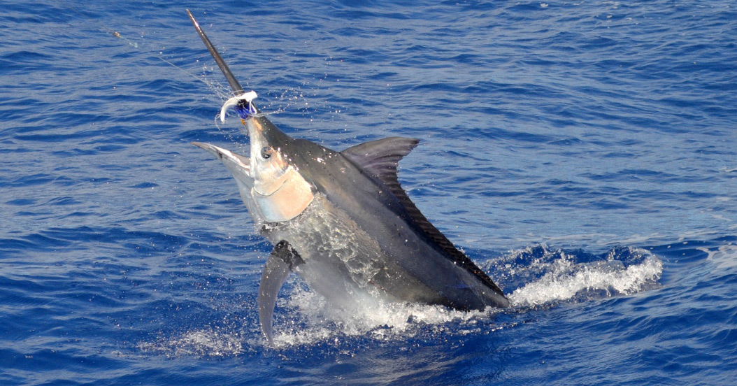 Nice Sailfish on Aquila